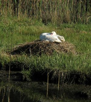 Swan nesting in the meadow. Photo by R. Fiore.